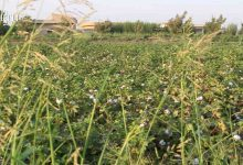 Photo of Raqqa's cotton harvest approaches; production lower expected