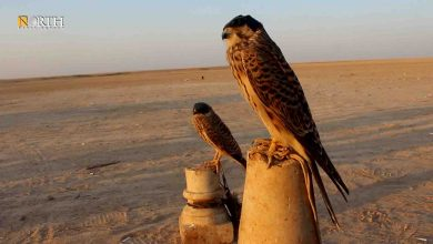Photo of Traditional hawk trapping thrives in northern Syria's Raqqa