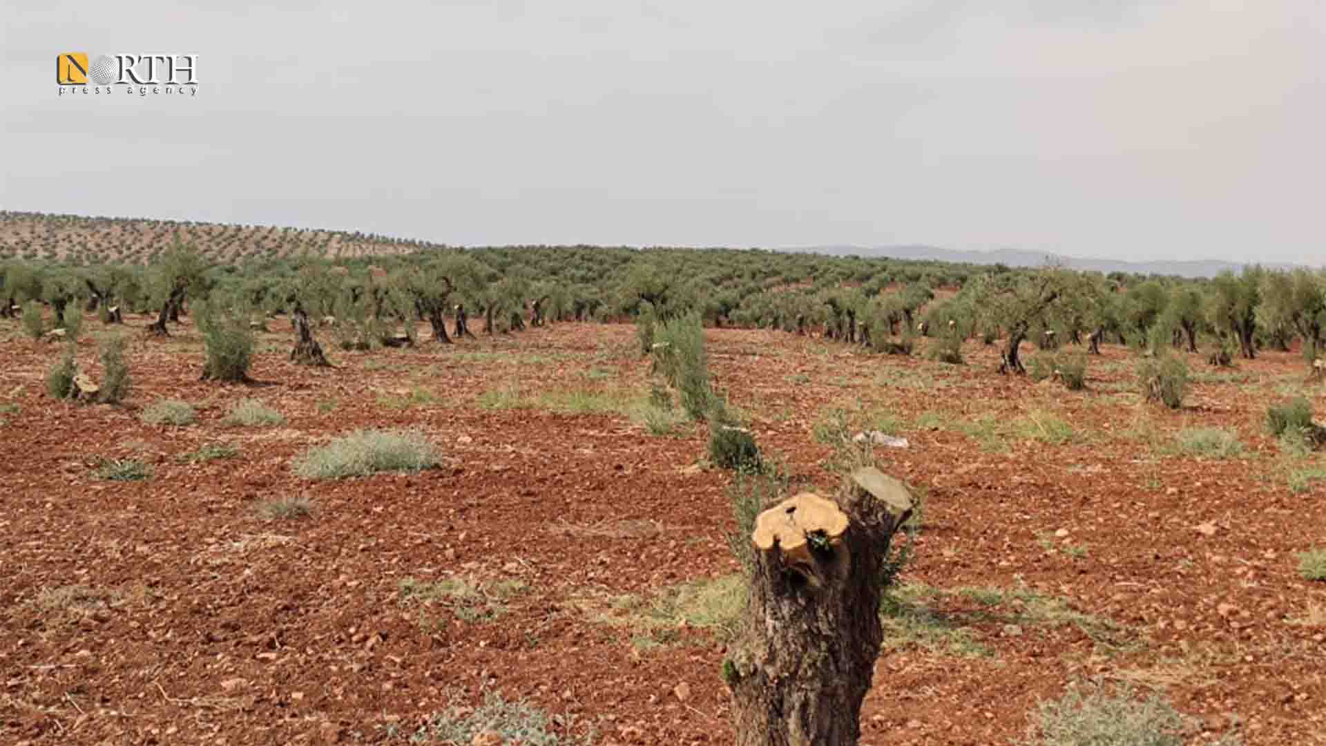 Afrin – Olive trees cut in Jenderes district in Afrin – North Press