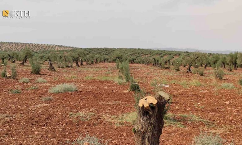 Photo of Daily Beast: Warlords smuggle Syria's Afrin olive oil to EU & US