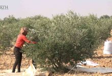 Photo of Average production expected for olive crops in Syria's Kobani