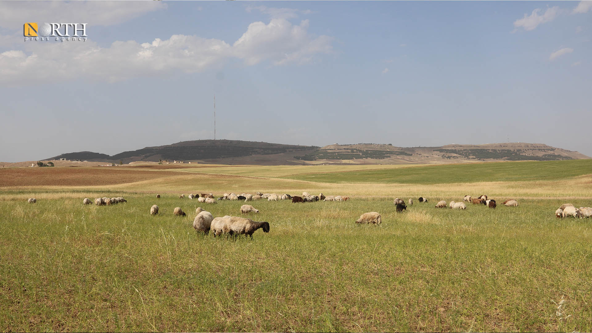 Damaged crops in Derik countryside due to lack of rain - North Press