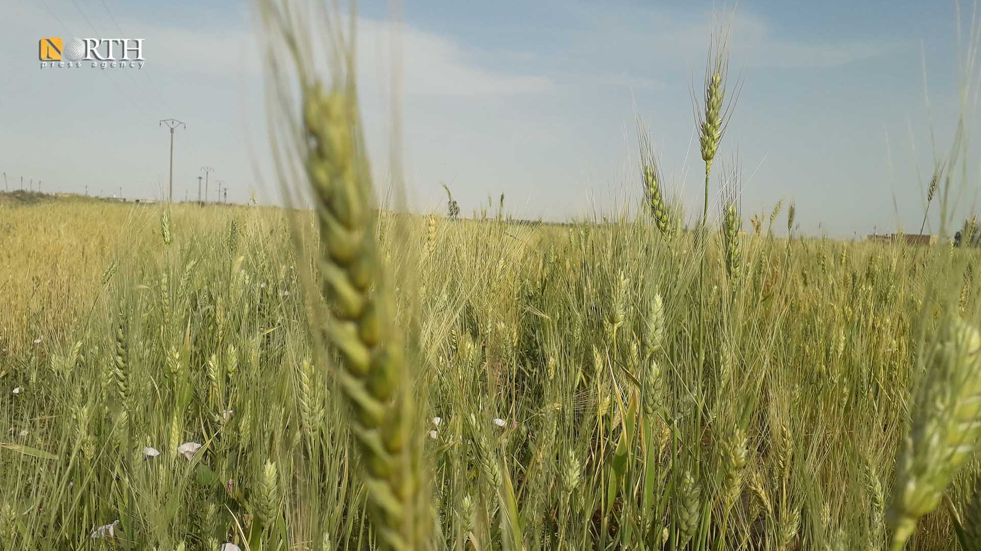 agricultural lands in Raqqa north of Syria - North Press