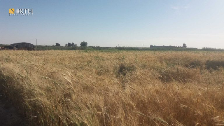 Wheat farm in Hawijat al-Sawafi village in southern countryside of Raqqa – North Press